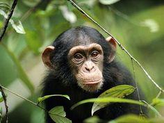 Chimpanzees and Bonobos Wallpaper: Chimp Peaking Through Leaves Especie Animal, Mundo Animal, Beautiful Creatures, Animals Beautiful, Los Primates, Baby Animals, Cute Animals, Wild Animals, Ape Monkey