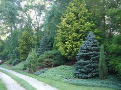 Mixed evergreen tree screen, conifers. This is what I want the back thicket to look like.
