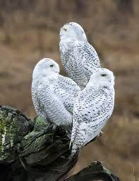 facts about snowy owls Raptor Bird Of Prey, Birds Of Prey, Snowy Owl Habitat, Animals Images, Cute Animals, Audubon Society, Photography Pics, Cockatoo, Bird Watching