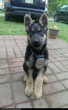 german-shepherd-puppy german shepherd, beauti dog