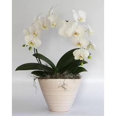 Orchidee White Mirror in pot