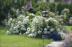 Przy ścieżce posadziliśmy okrywowe róże - tutaj bardzo zdrowa i obficie kwitnąca odmiana 'Aspirin Rose'