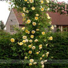 Pachnące 'Pilgrim' Żółty Wspinaczka Krzew Róży Nasiona scheda, profesjonalne Pack, 50 Nasiona/Paczka, Bloom Repeately All Season(China (Mainland))