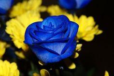 les roses bleues - Images Insolites