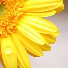 """""""when I see a yellow daisy, it makes me think of you"""" -Liz speaking of Grandpa Bill Gerber Daisies, Yellow Daisies, Margaritas Gerbera, Yellow Flower Wallpaper, Daisy, Rosa Rose, Gras, Shades Of Yellow, Mellow Yellow"""