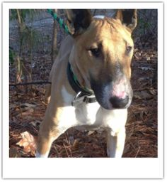 Are you a first time bullie owner? You have met your match- meet Corky! Handsome Corky is a 6 yr old boy fine with other dogs. Would make a...