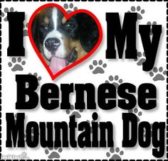 I heart my bernese mountain dog Gentle Giant, Picts, Bernese Mountain, Mountain Dogs, Cool Pets, Cuddling, Animal Pictures, My Heart, St Bernese Mountain Dog