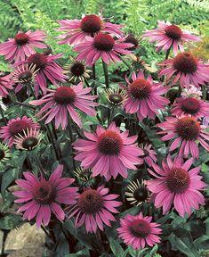 Buy hardy perennials now Stonecrop in 2 Colours Outdoor Flowers, Hardy Perennials, Pink Garden, Drought Tolerant Plants, Garden Cottage, Belleza Natural, Flower Seeds, Clematis, Garden Planning
