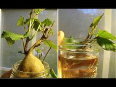 10 restos de frutas y verduras que vuelven a crecer después de usarlos - YouTube