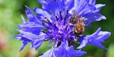 Bienenfreundlicher Garten - Wildbiene auf Blüte Gardening, Plants, Insects, Animales, Garden Art, Fruit, Lawn And Garden, Plant