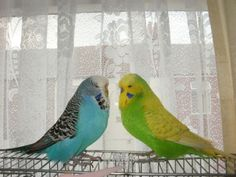 """Two Budgerigars: """"Having A Heart-To-Heart."""""""