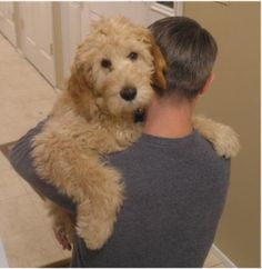 Goldendoodle.  A 'hypoallergenic' breed. Please, can we have one?! I will carry him around like this.