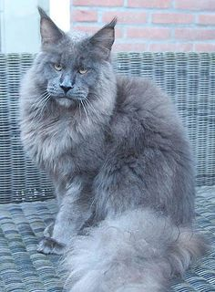 Timaracoon's Maine Coon. Beautiful! http://www.mainecoonguide.com/