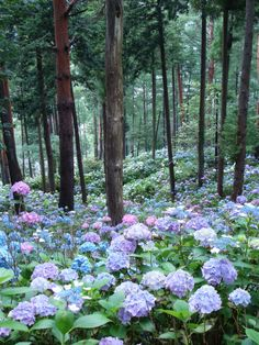 a natural garden: hydrangea forest, Japan. Did they say HYDRANGEA FOREST? I just died and went to heaven. Hortensia Hydrangea, Hydrangea Garden, Blue Hydrangea, Hydrangea Bloom, Hydrangea Macrophylla, White Hydrangeas, My Secret Garden, Landscape Designs, Hydrangeas