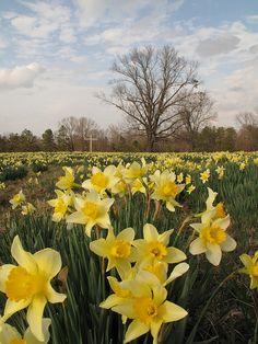 Wye Mountain Daffodils   Is it just me or do daffodils remind anyone else of Grandma's?