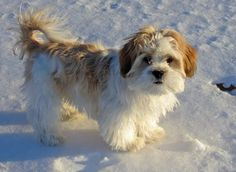 Buddy the Shih Tzu Mix-How Adorable!