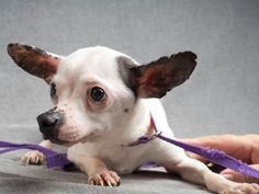 Adopt Bucky, a lovely 2 years Dog available for adoption at Petango.com. Bucky is a Chihuahua, Short Coat / Terrier and is available at the National Mill Dog Rescue in Colorado Springs, Co. www.milldogrescue... #adoptdontshop #puppymilldog #rescue #adoptyourfriendtoday