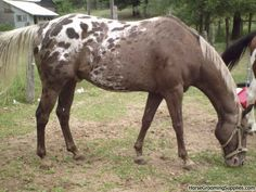 """Kristina (Kyryah) said of this photo, """"I had an Appaloosa gelding that I have never seen anything quite like... He was an odd base color, with a white blanket that had black spots. towards the edge of the blanket, the spots faded to brown. All over his body where tiny butterscotch colored spots. His mane and tail were silvery blonde (I think there HAD to be a silver gene happening, lol.)"""""""