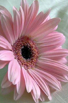 Lovely pink Daisy.