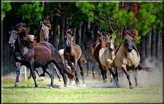 one of the last herds of the endangered carolina marsh tacky horse, aka tackies - only about 300 of them left in the carolinas and they are direct descendants of the spanish colonial horses