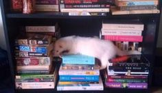 Wesley picking out a bedtime story. #ferrets