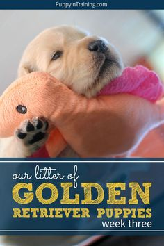 Irrestible Dog Ideas and Training Tips. Mind Blowing Dog Ideas and Training Tips. Golden Retriever Training, Golden Retriever Labrador, Retriever Puppies, Golden Retrievers, Puppies Puppies, Puppy Socialization, Puppy Litter, Dog Rates, Golden Puppy