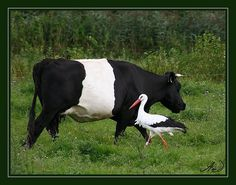Black and White -- Lakenvelder cow