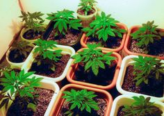 Learn how to grow cannabis. The perfect class for someone who wants to learn how to be a grower for the medical and recreational cannabis industry. Growing Marijuana Indoor, Cannabis Growing, Marijuana Plants, Cannabis Plant, Growing Weed, Cannabis Seeds Online, Cannabis Seeds For Sale, Medical Marijuana, Herbs