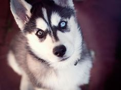Husky of two different eyes wallpaper