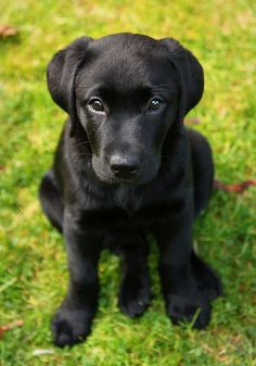 Mind Blowing Facts About Labrador Retrievers And Ideas. Amazing Facts About Labrador Retrievers And Ideas. Black Lab Puppies, Cute Puppies, Cute Dogs, Dogs And Puppies, Doggies, Corgi Puppies, Black Labs Dogs, Black Puppy, Husky Dog