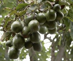 Cold Tolerance Of Avocado: Learn About Frost Tolerant Avocado Trees