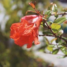 🌻🌺🌺💛 #postoftheday #picoftheday #photogram #photography #photo #photooftheday #flower #pomegranate #orange #orangeflower #pomegranateflower #flowers #love #happy #wednesdaymood #wednesdaypost #instaphoto #instadaily #instaflower #bloomsoftheday #blossom #green #leaf