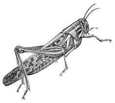 grasshopper with detail