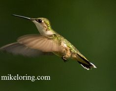 Animated Gif Birds | humming bird animation.gif