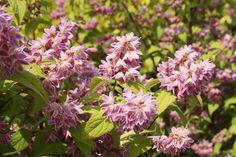 DEUTZIA x 'Perle Rose' Rose, Gardens, Trees And Shrubs, Plant, Pink, Roses