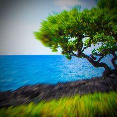 Life! Tree grows from black lava rocks. #hawaii #bigisland #luckywelivehi #nature #scenery #ocean #instagood #instamood