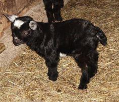 Fainting pygmy goats