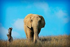 The lowest registers of an elephant's voice are inaudible to humans—but they've been a longstanding puzzle all the same