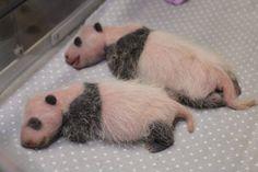 Ces petits jumeaux pandas géants nés au zoo de Toronto le 13 octobre