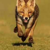 Running Little Red Fox ~ photographed in the Netherlands by Menno Schaefer
