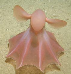 Pink cirrate octopod or dumbo octopus - SEALIFE - sea creatures Beautiful Sea Creatures, Deep Sea Creatures, Animals Beautiful, Creatures 3, Strange Creatures, Strange Animals, Under The Water, Under The Sea, Underwater Creatures