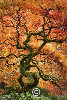 Javor na podzim v Japonské zahradě rezervaci Bloedel. Laceleaf maple tree with fall color in the Japanese Garden at Bloedel Reserve, Bainbridge Island, Washington.