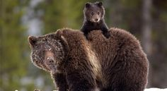 50 Parents From The Animal Kingdom And Their Adorable Kids - bear - Especie Animal, Mundo Animal, Baby Animals, Funny Animals, Cute Animals, Beautiful Creatures, Animals Beautiful, Concours Photo, All Gods Creatures
