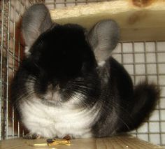 Before I die, I want to own a black chinchilla and name it Ninja