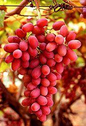 New variety - Crimson Seedless grapes.  Photo: Bob Nichols