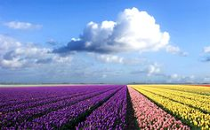 Tulip fields, Holland #ridecolorfully