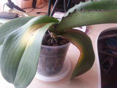 Как спасти любимую орхидею / Домоседы Orchids, Plants, Sodas, Lilies, Plant, Orchid, Planting, Planets