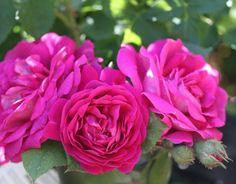 Palatina Muscosa (Palatine Roses)