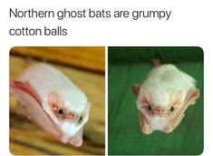 Oh god I thought it said cannon balls and I JUST FUCKING IMAGINED A BAT BEING SHOT OUT OF A CANNON