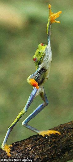 That frog's got moves! Extraordinary moment photographer caught animal pulling…
